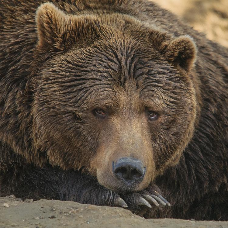Urșii Din România